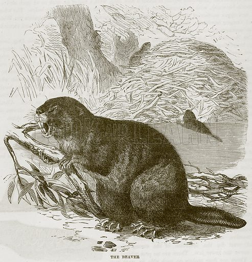 The Beaver. Illustration from Cassell's Natural History (Cassell, 1883).