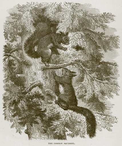 The Common Squirrel. Illustration from Cassell's Natural History (Cassell, 1883).