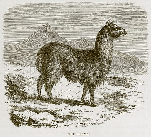 The Llama. Illustration from Cassell's Natural History (Cassell, 1883).