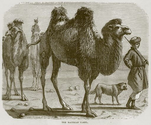 The Bactrian Camel. Illustration from Cassell's Natural History (Cassell, 1883).