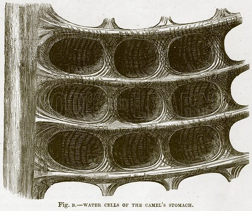 Water Cells of the Camel's Stomach. Illustration from Cassell's Natural History (Cassell, 1883).