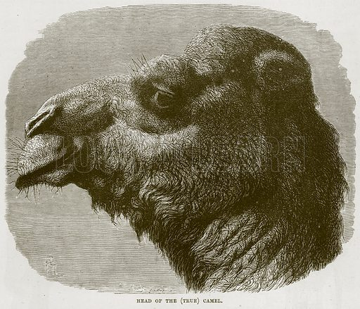 Head of the (True) Camel. Illustration from Cassell's Natural History (Cassell, 1883).