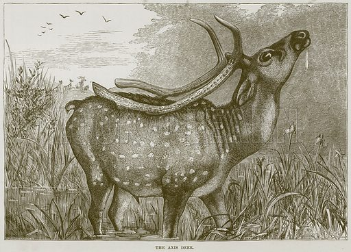 The Axis Deer. Illustration from Cassell's Natural History (Cassell, 1883).