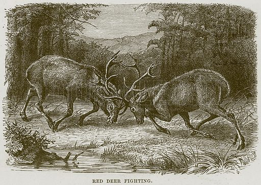 Red Deer Fighting. Illustration from Cassell's Natural History (Cassell, 1883).