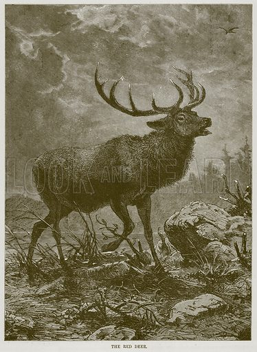 The Red Deer. Illustration from Cassell's Natural History (Cassell, 1883).
