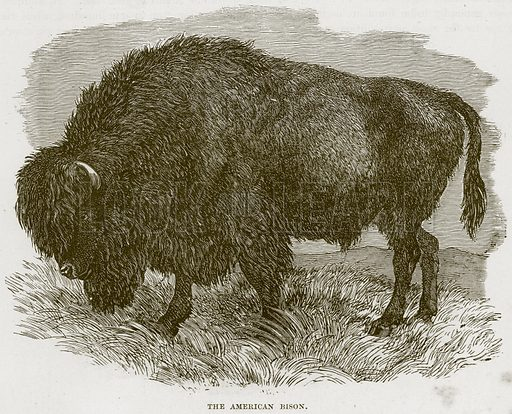 The American Bison. Illustration from Cassell's Natural History (Cassell, 1883).