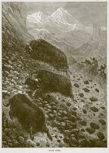 Musk Oxen. Illustration from Cassell's Natural History (Cassell, 1883).