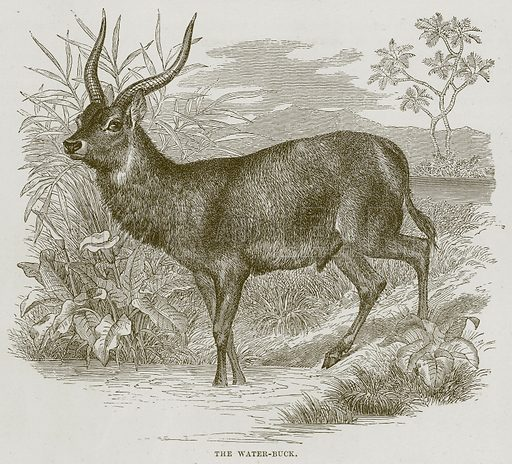 The Water-Buck. Illustration from Cassell's Natural History (Cassell, 1883).