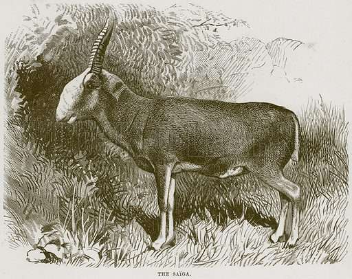 The Saiga. Illustration from Cassell's Natural History (Cassell, 1883).