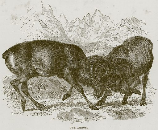 The Ammon. Illustration from Cassell's Natural History (Cassell, 1883).