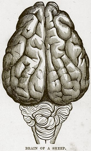Brain of a Sheep. Illustration from Cassell's Natural History (Cassell, 1883).