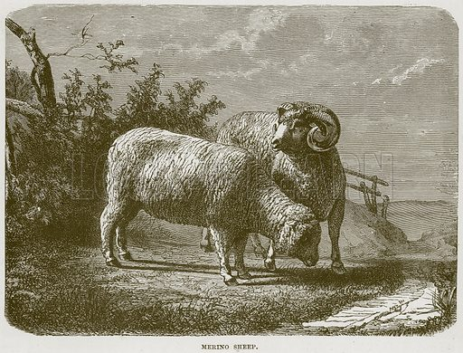 Merino Sheep. Illustration from Cassell's Natural History (Cassell, 1883).