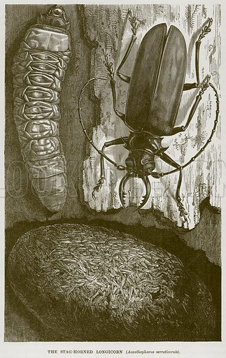 The Stag-Horned Longicorn (Acanthophorus Serraticornis). Illustration from Cassell's Natural History (Cassell, 1883).