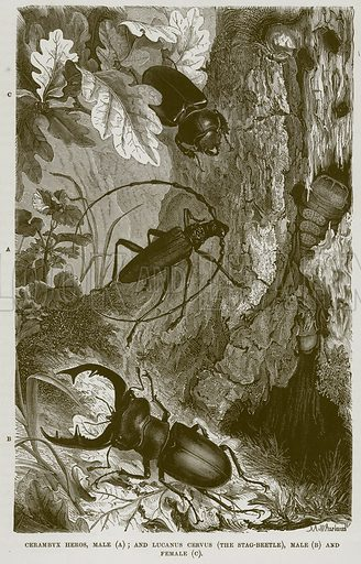Cerambyx Heros, Male (A); and Lucanus Cervus (The Stag-Beetle), Male (B) and Female (C). Illustration from Cassell's Natural History (Cassell, 1883).