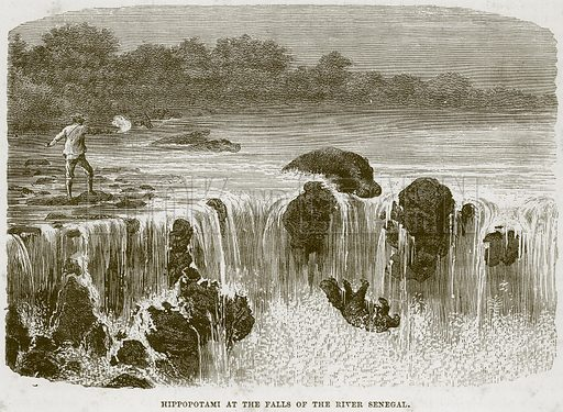 Hippopotami at the Falls of the River Senegal. Illustration from Cassell's Natural History (Cassell, 1883).