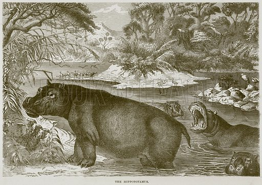 The Hippopotamus. Illustration from Cassell's Natural History (Cassell, 1883).