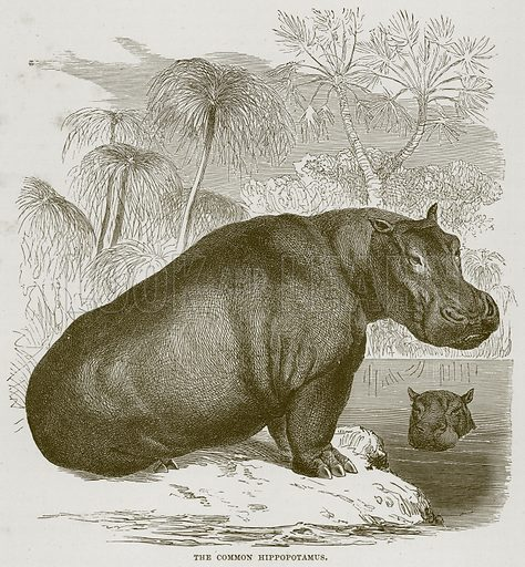 The Common Hippopotamus. Illustration from Cassell's Natural History (Cassell, 1883).