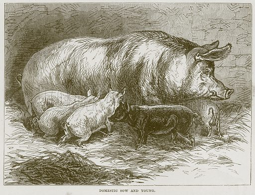 Domestic Sow and Young. Illustration from Cassell's Natural History (Cassell, 1883).