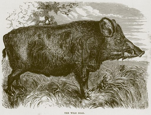The Wild Boar. Illustration from Cassell's Natural History (Cassell, 1883).