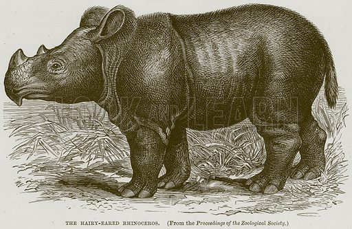 The Hairy-Eared Rhinoceros. Illustration from Cassell's Natural History (Cassell, 1883).