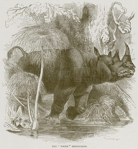 """The """"White"""" Rhinoceros. Illustration from Cassell's Natural History (Cassell, 1883)."""