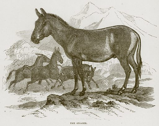 The Onager. Illustration from Cassell's Natural History (Cassell, 1883).