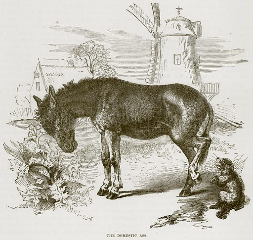 The Domestic Ass. Illustration from Cassell's Natural History (Cassell, 1883).