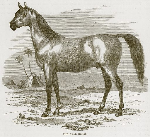 The Arab Horse. Illustration from Cassell's Natural History (Cassell, 1883).