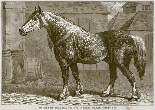 English Dray Horse from the Stud of Messrs. Barclay, Perkins & Co Illustration from Cassell's Natural History (Cassell, 1883).