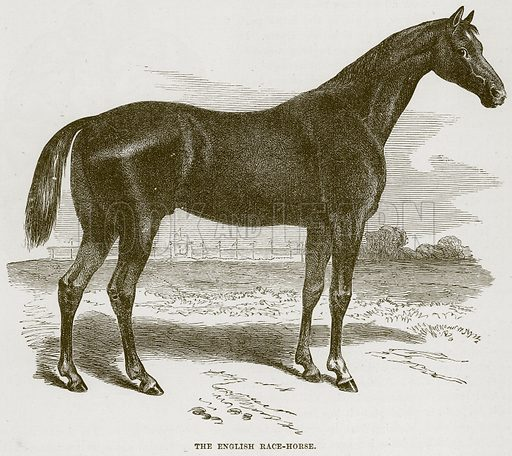 The English Race-Horse. Illustration from Cassell's Natural History (Cassell, 1883).