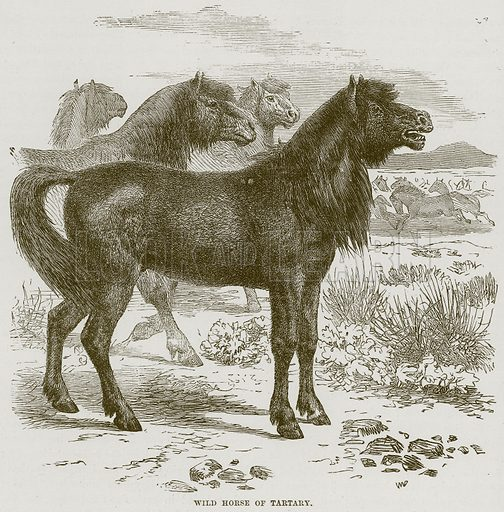 Wild Horse of Tartary. Illustration from Cassell's Natural History (Cassell, 1883).