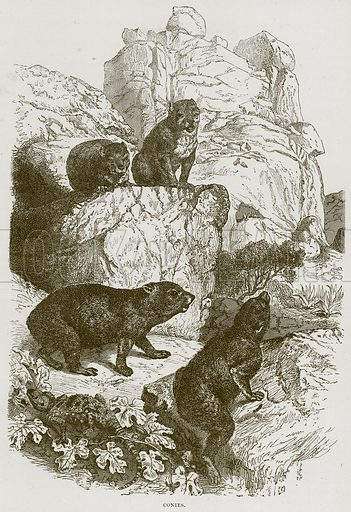 Conies. Illustration from Cassell's Natural History (Cassell, 1883).
