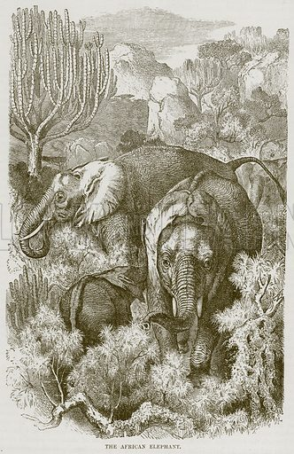 The African Elephant. Illustration from Cassell's Natural History (Cassell, 1883).