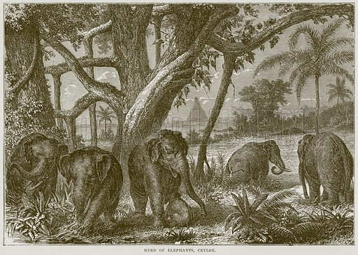 Herd of Elephants, Ceylon. Illustration from Cassell's Natural History (Cassell, 1883).