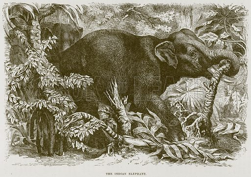 The Indian Elephant. Illustration from Cassell's Natural History (Cassell, 1883).