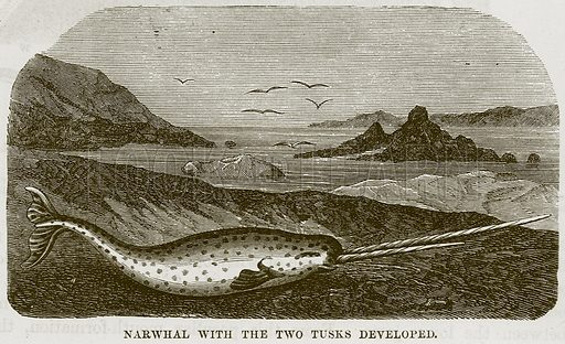 Narwhal with the Two Tusks developed. Illustration from Cassell's Natural History (Cassell, 1883).