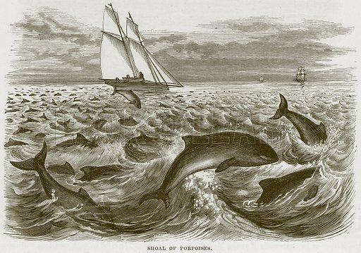 Shoal of Porpoises. Illustration from Cassell's Natural History (Cassell, 1883).
