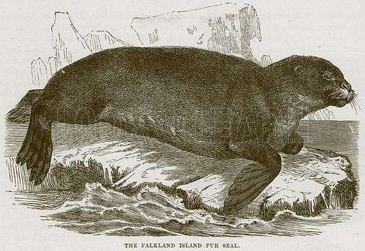 The Falkland Island Fur Seal. Illustration from Cassell's Natural History (Cassell, 1883).