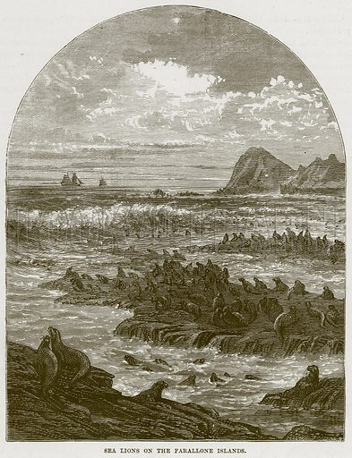 Sea Lions on the Farallone Islands. Illustration from Cassell's Natural History (Cassell, 1883).