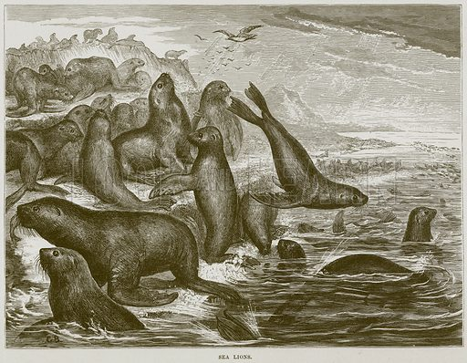 Sea Lions. Illustration from Cassell's Natural History (Cassell, 1883).