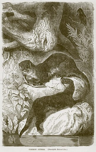 Common Otters. Illustration from Cassell's Natural History (Cassell, 1883).