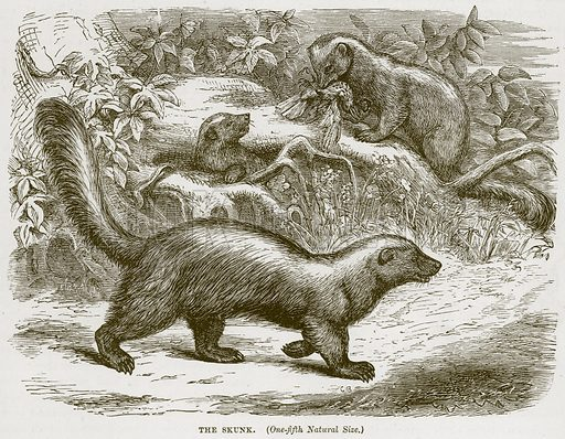 The Skunk. Illustration from Cassell's Natural History (Cassell, 1883).