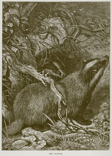 The Badger. Illustration from Cassell's Natural History (Cassell, 1883).