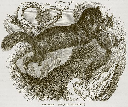 The Sable. Illustration from Cassell's Natural History (Cassell, 1883).