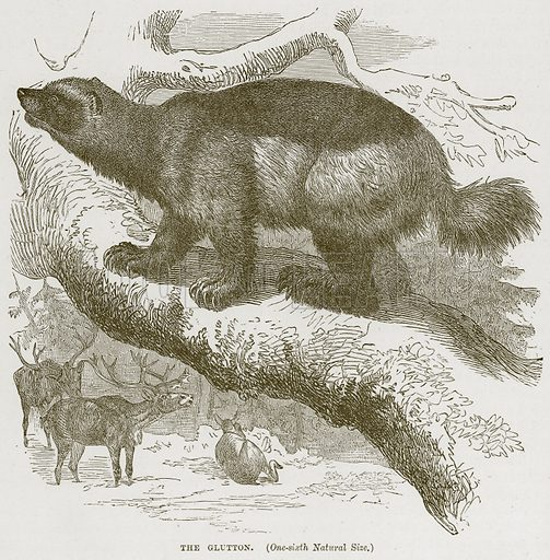 The Glutton. Illustration from Cassell's Natural History (Cassell, 1883).
