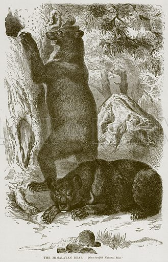 The Himalayan Bear. Illustration from Cassell's Natural History (Cassell, 1883).