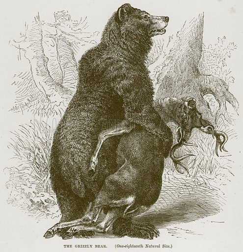 The Grizzly Bear. Illustration from Cassell's Natural History (Cassell, 1883).
