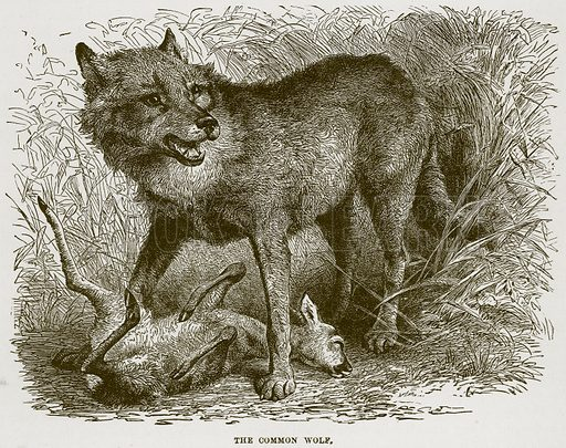 The Common Wolf. Illustration from Cassell's Natural History (Cassell, 1883).