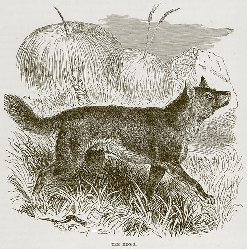 The Dingo. Illustration from Cassell's Natural History (Cassell, 1883).