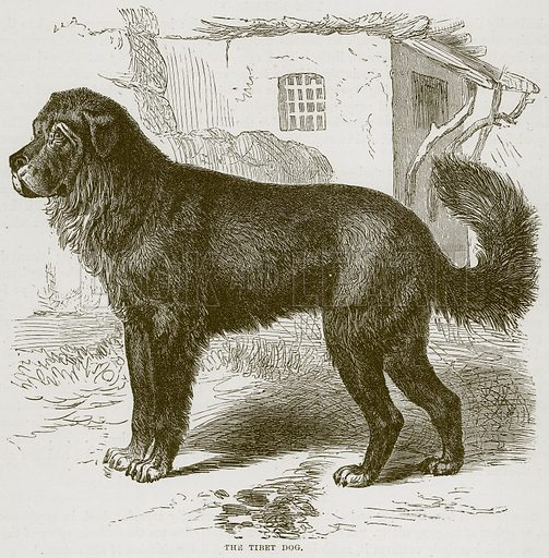 The Tibet Dog. Illustration from Cassell's Natural History (Cassell, 1883).